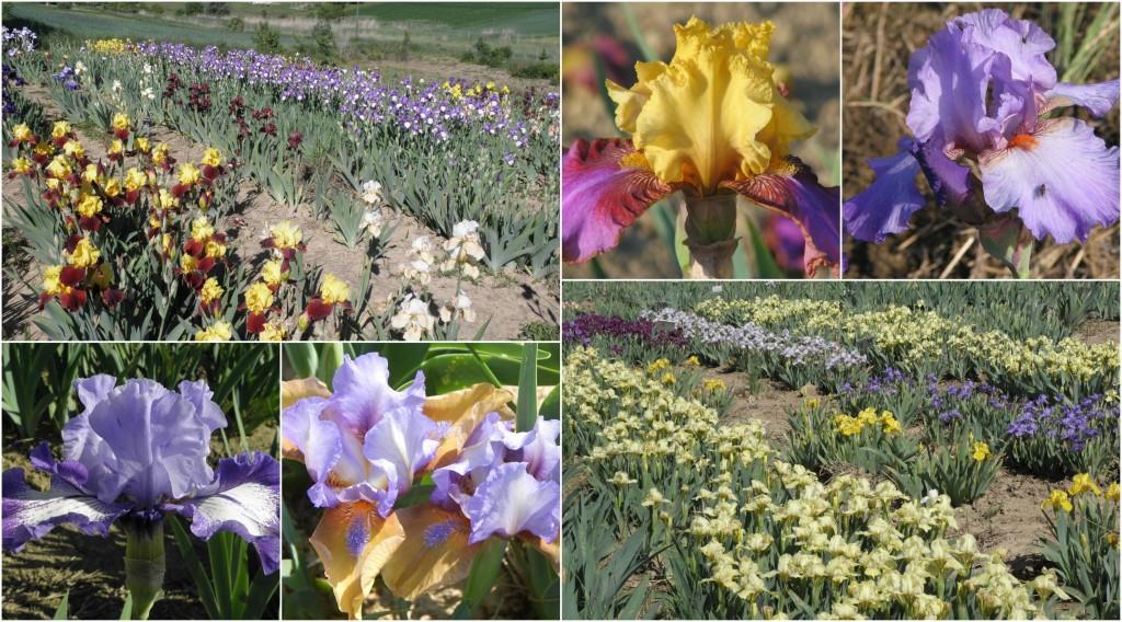 BeFunky irisi